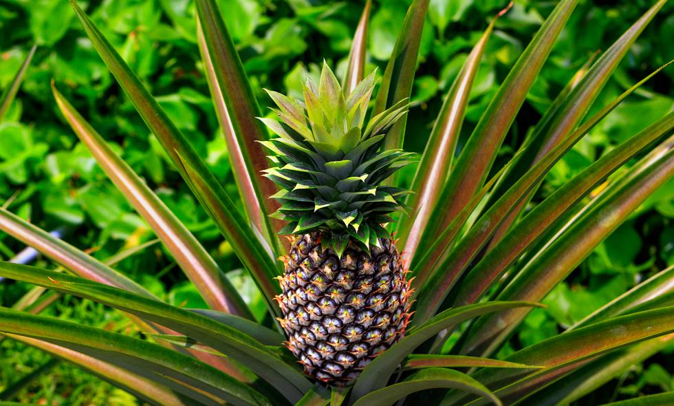 odla ananas
