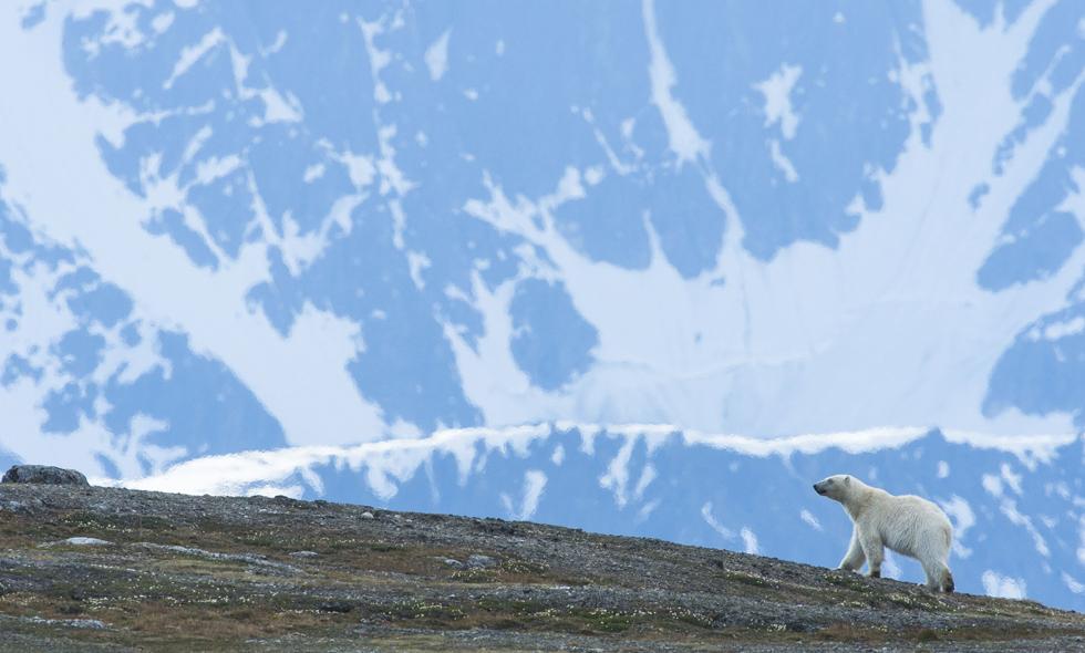 Polar bears, Svalbard,