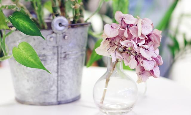 Behåll dina vackra hortenisor längre – torka dem i två enkla steg