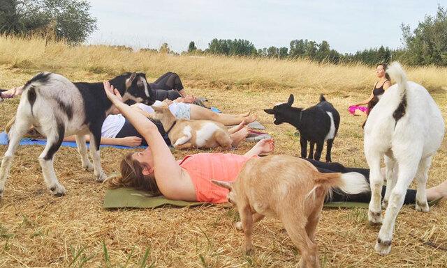 Nu har drömmen om yogaklasser med killingar blivit verklighet