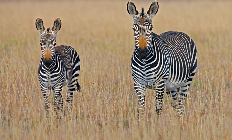 vackra-djur