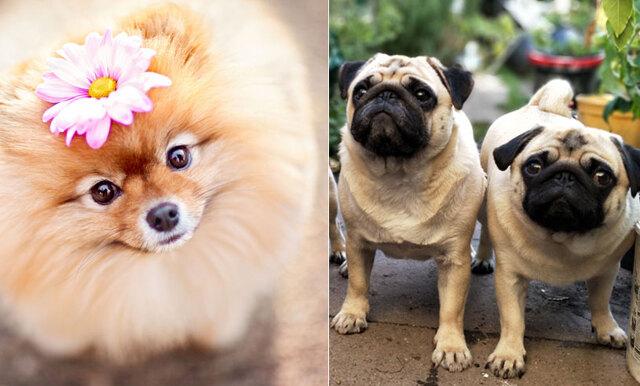 Quiz: Vilken hundras är du?
