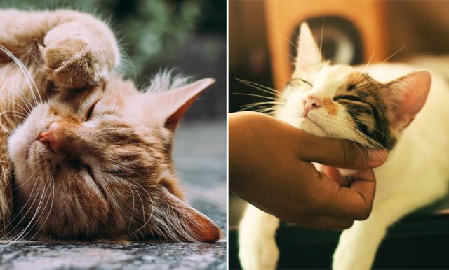 Få betalt för att gosa med katter – här är drömjobbet för kattälskaren!