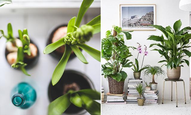 Zebrasköld, ormbunke och fönsterfikus – här är de trendigaste växterna 2020!