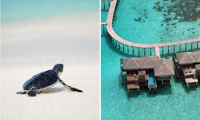 Drömjobbet! Bo på ett lyxhotell och sköt om sköldpaddor på Maldiverna