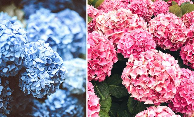 Så får du din hortensia att hålla längre – 5 enkla tips