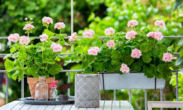 Skapa sommarkänsla på balkongen med vackra (och tåliga!) pelargoner