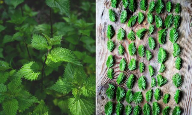 Ätbart ogräs och vilda växter – 8 gröna tips att plocka till middagen