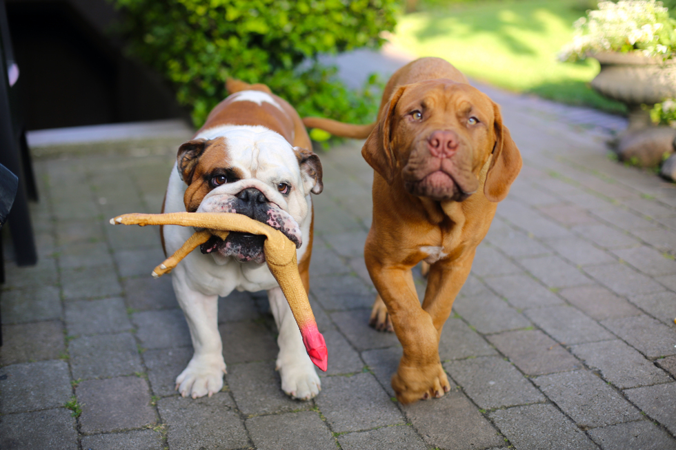 Engelsk bulldog, Dogue de Bordeaux