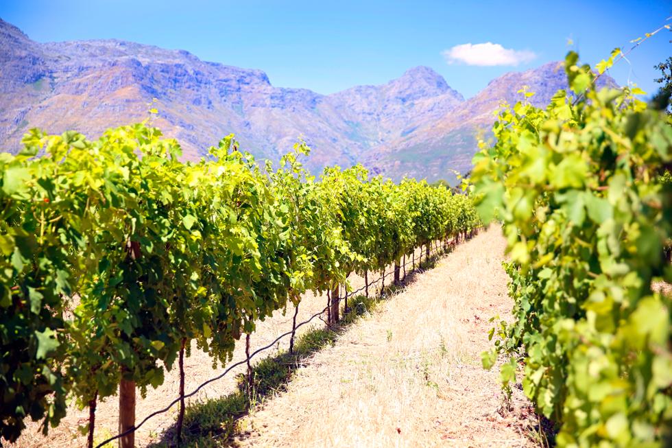 vingård-