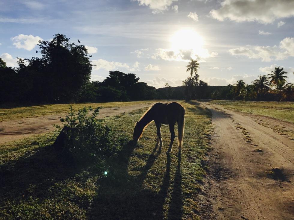 Horses Vieques