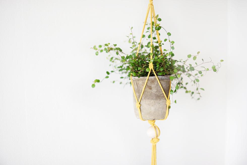 Slideranka, Lättskötta krukväxter - Flora Wiström