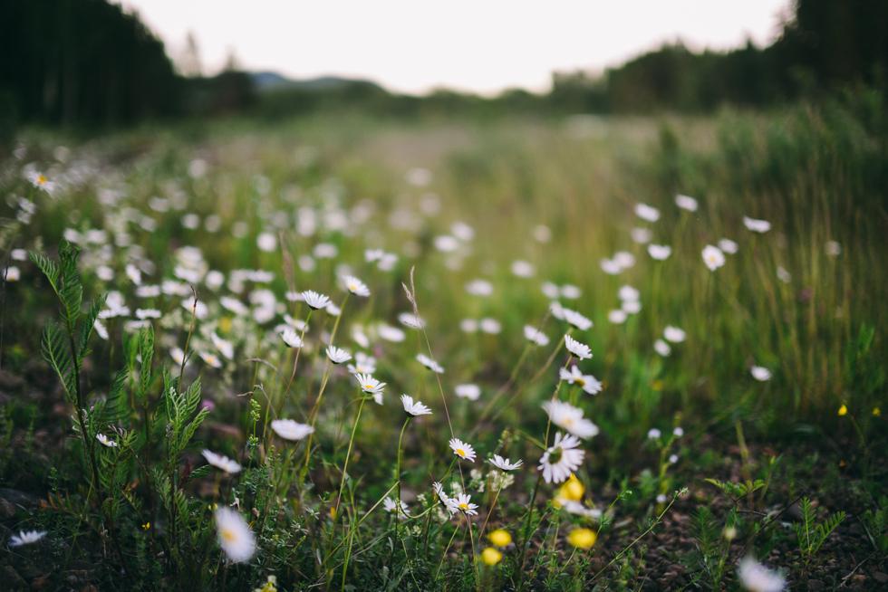 hälsingland flora wiström-2