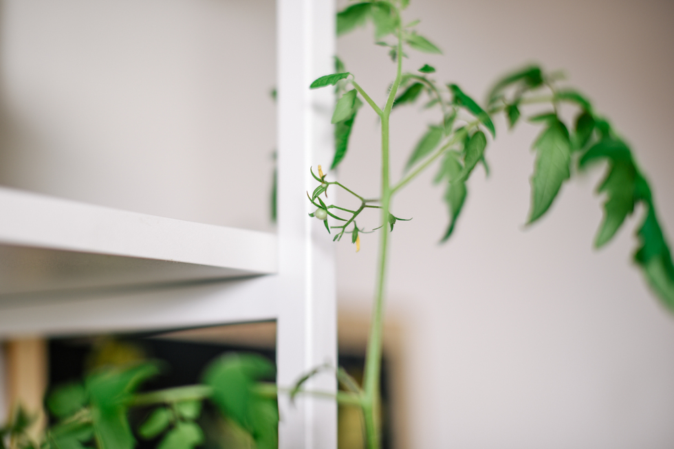 tomatplanta flora wiström -3s