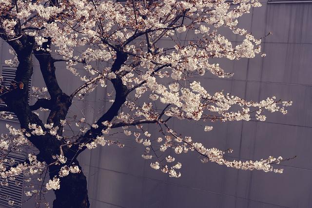 Cherry Blossom möter asiatisk datingAleksandr dejting