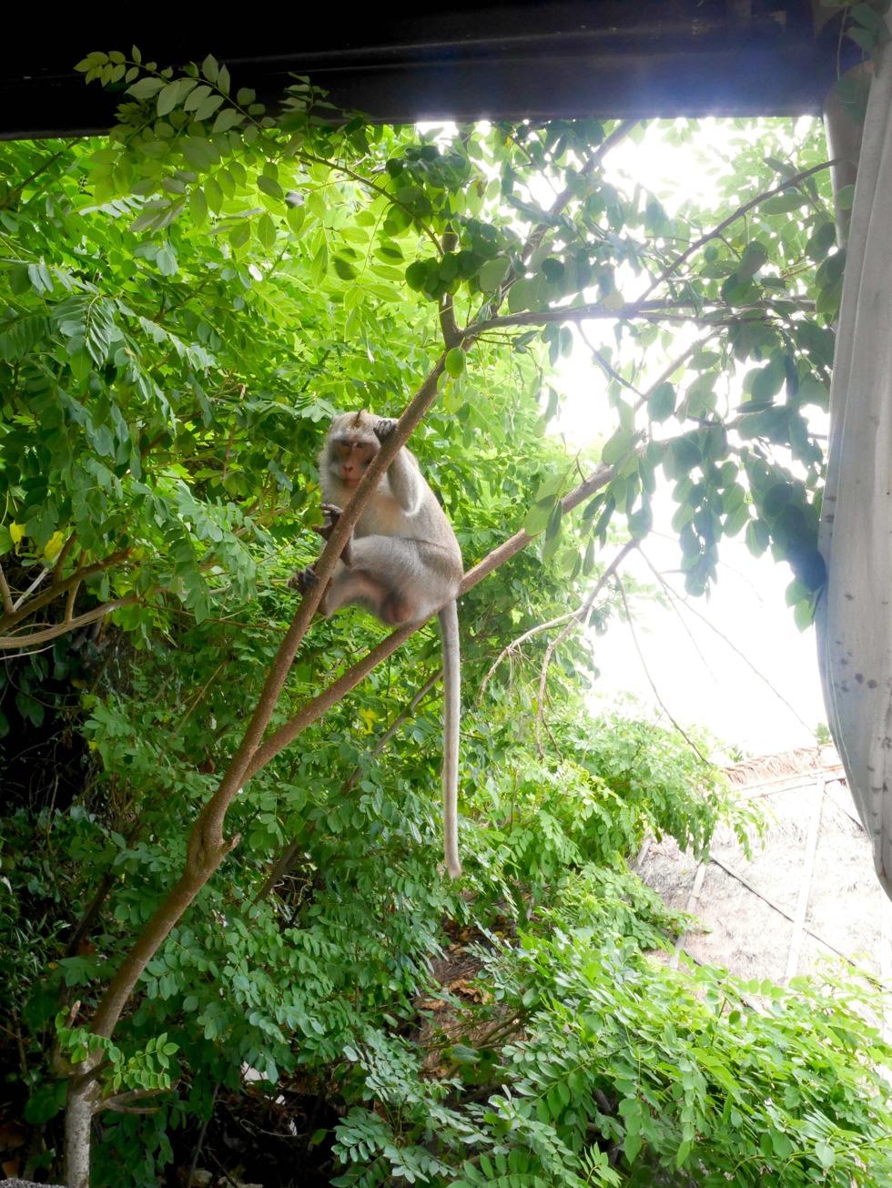 Monkey Bali 2