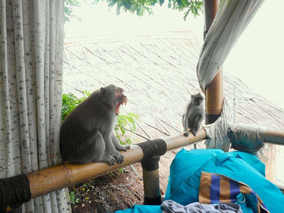 Monkey Bali 3
