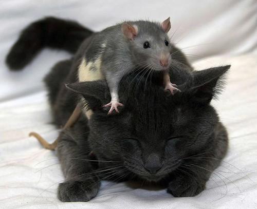 katt och råtta dasha