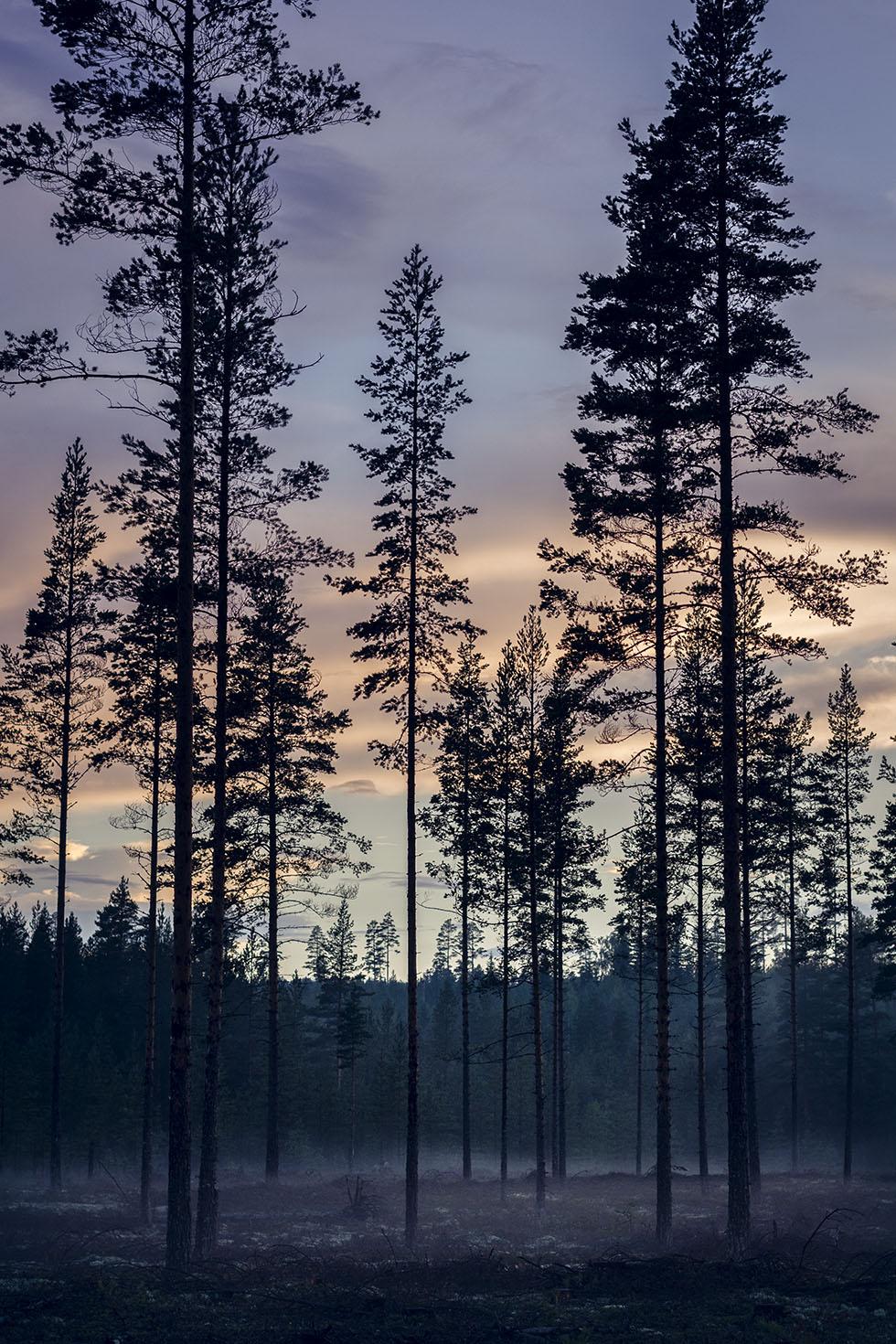 Hälsingland skog natt Los