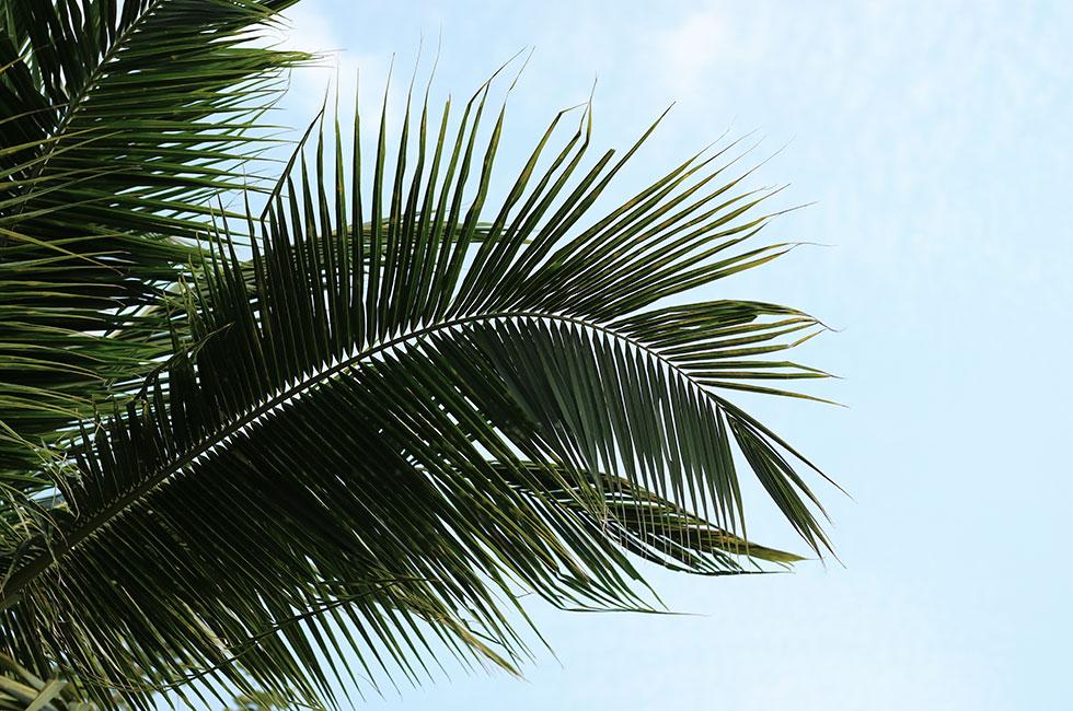 palmtree-thailand-palm-krabi