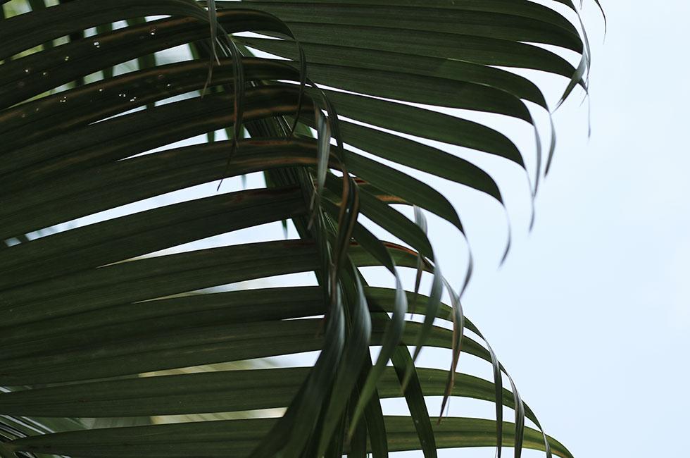 thailand-palmtree